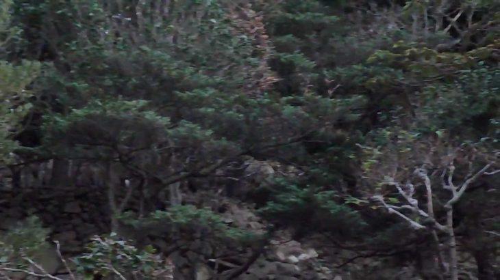野生の鹿 島山島にて