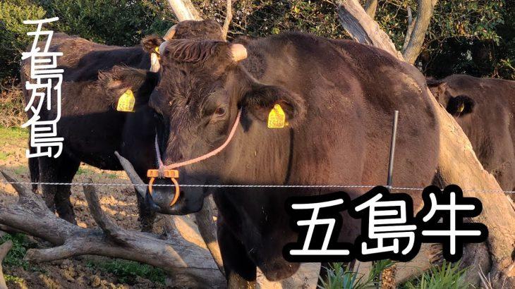 【五島列島】五島牛